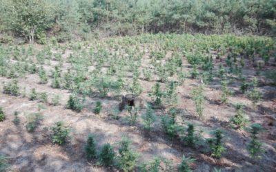 W lasach pod Kaliszem rosły uprawy warte milion złotych